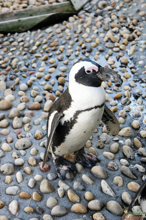 Gulfarioum Penguin Profile (1 of 1)