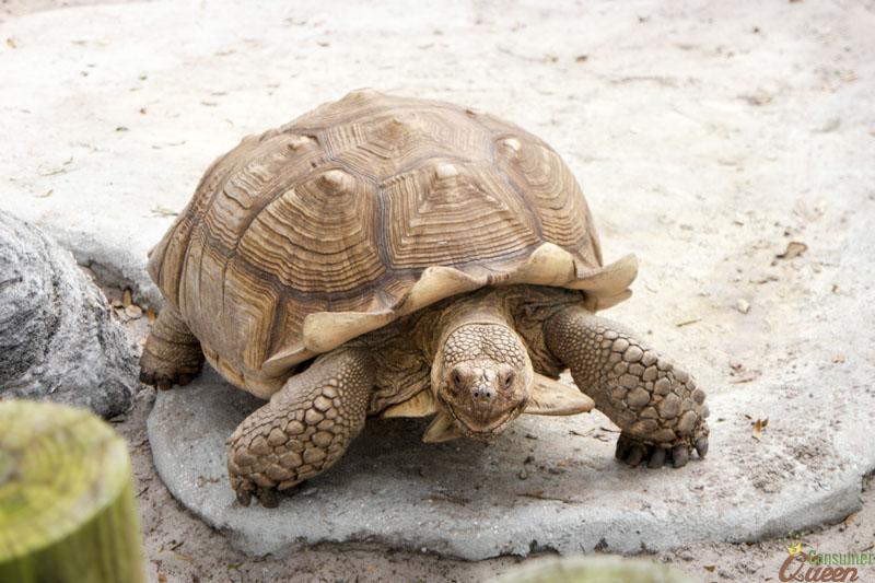 Gulfarioum Turtle