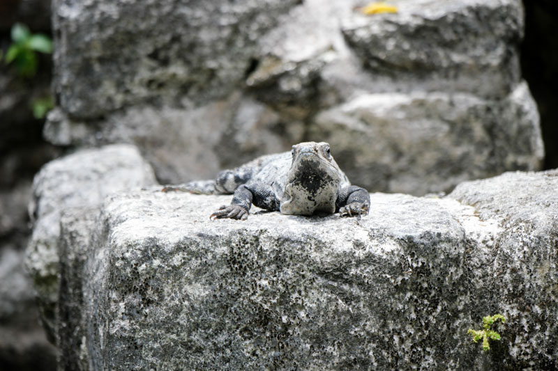 Mayan Ruins Iguana