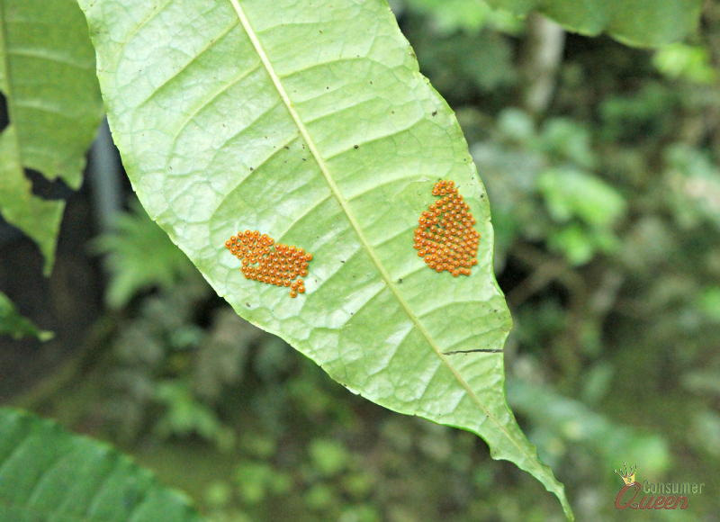 Blue River Butterfly Eggs