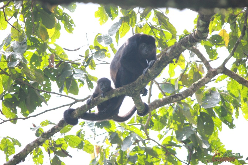 Blue River Monkey Family
