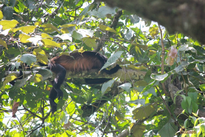 Blue River Monkey Tree Sleeping