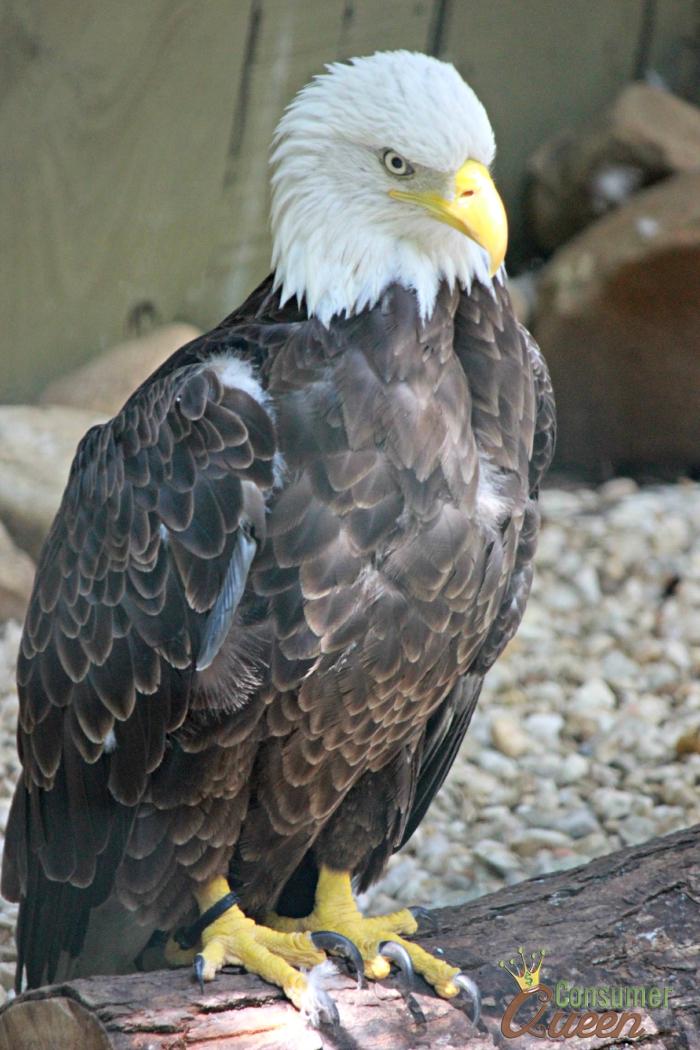 Dollywoood Bald Eagle