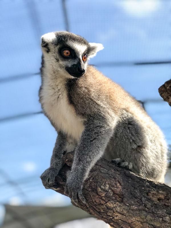 Giraffe ranch lemurs (1 of 1)