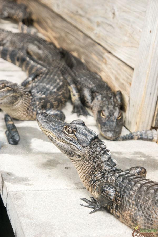 Gulfarioum Crocodile