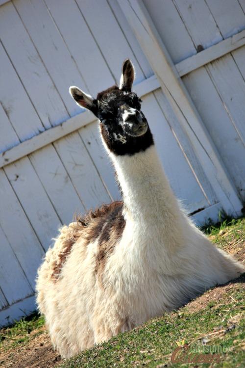 Llama- Old Macdonald Had a Farm