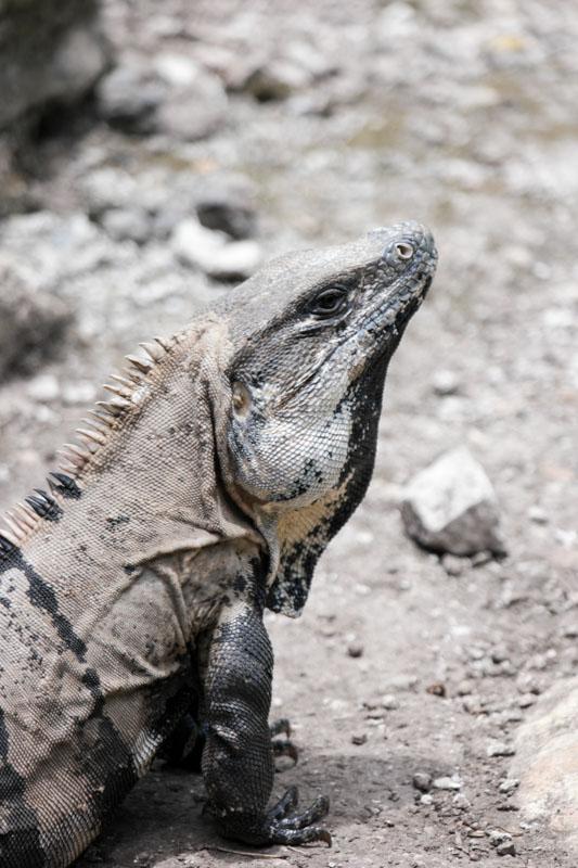 Iguana Western Caribbean
