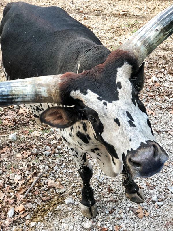 Promised Land Zoo Bull
