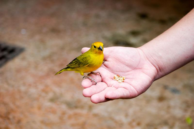 Yellow Canary - Western Caribbean
