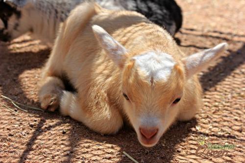 baby goats -Old Macdonald Had a Farm