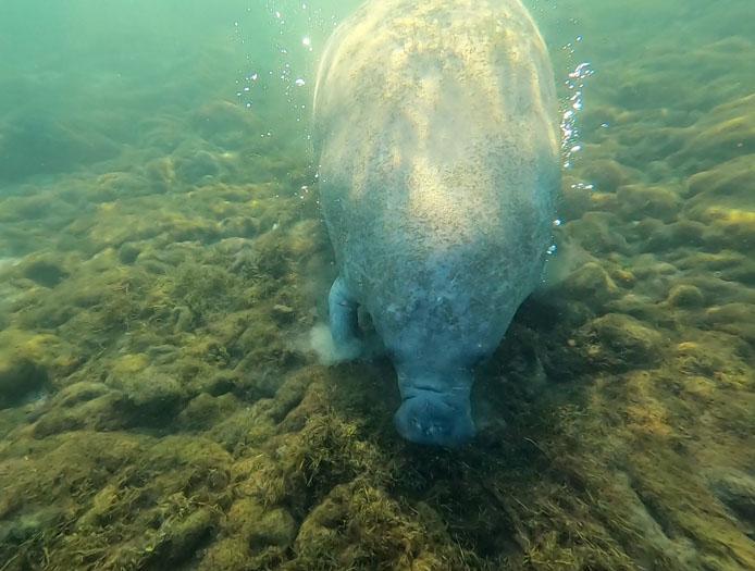 Manatees under water