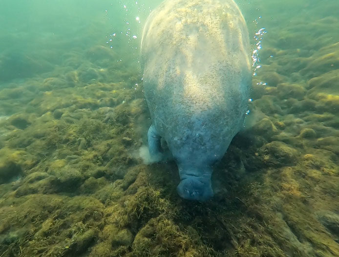 Manatees under water