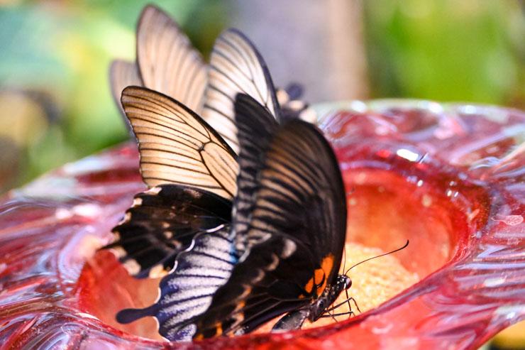 Monarch on Feeder