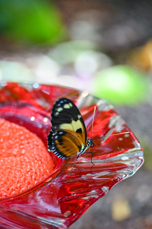 Monarch butterfly on feeder