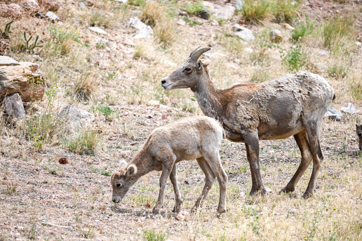 mom and baby big horn sheep