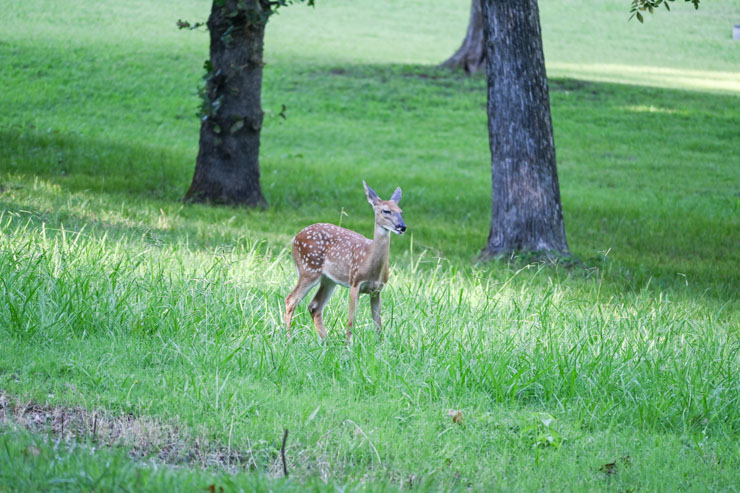fawn at Greenleaf State Park