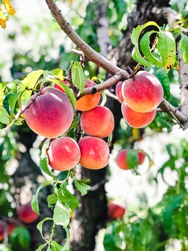 Porter Peach Tree