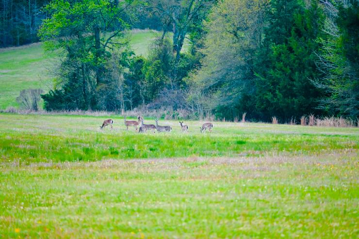 Deer Lake Deer